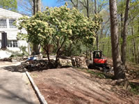 Transplanting a large Pieris tree from the back yard to the front